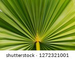 sugar palm leaf texture  palm... | Shutterstock . vector #1272321001