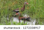 Black bellied whistling ducks...