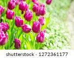 purple tulip flower garden   Shutterstock . vector #1272361177