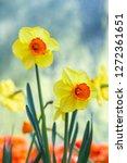 yellow narcissus monal ...   Shutterstock . vector #1272361651