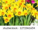yellow narcissus monal ...   Shutterstock . vector #1272361654