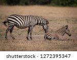plains zebra stands nuzzling... | Shutterstock . vector #1272395347