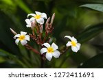 colorful frangipani flowers  | Shutterstock . vector #1272411691