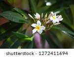 colorful frangipani flowers  | Shutterstock . vector #1272411694