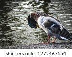 Duck Is Grooming Itself Near...
