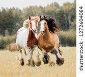 Horses Run Across The Field