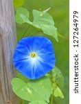 Morning Glory Growing Up A...