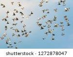 Flock Of Speed Racing Pigeon...