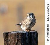 american kestrel perched on a... | Shutterstock . vector #1272926911