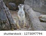 suricata suricatta with...   Shutterstock . vector #1273097794