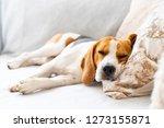 beagle dog tired sleeps on a...   Shutterstock . vector #1273155871