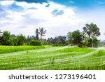spring green rice fields... | Shutterstock . vector #1273196401