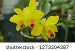 cattleya labiata hybrid yellow... | Shutterstock . vector #1273204387
