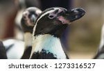 Portrait Of Magellanic Penguin...