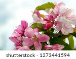 blooming apple tree in spring... | Shutterstock . vector #1273441594