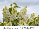 blooming lilac bush in spring... | Shutterstock . vector #1273444951