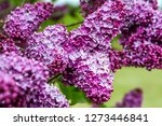 blooming lilac bush in spring... | Shutterstock . vector #1273446841