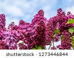 blooming lilac bush in spring... | Shutterstock . vector #1273446844