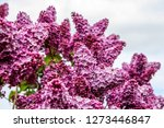 blooming lilac bush in spring... | Shutterstock . vector #1273446847