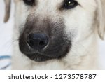 dog snout  sniffing dog  close...   Shutterstock . vector #1273578787