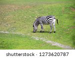 a zebra st the zoo   Shutterstock . vector #1273620787