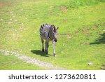 a zebra st the zoo   Shutterstock . vector #1273620811