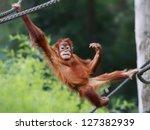 Young male Orangutan is relaxing - stock photo
