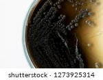 colony characteristic of... | Shutterstock . vector #1273925314