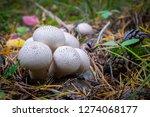 Forest Mushrooms Lycoperdon...