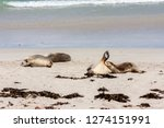 sleeping australian sea lions ...   Shutterstock . vector #1274151991