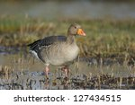 Greylag Goose In Flooded Field...