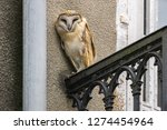 screech owl tyto alba perching... | Shutterstock . vector #1274454964