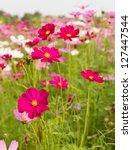 Field Of Pink Cosmos Flowers ...