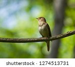 thrush nightingale on the branch | Shutterstock . vector #1274513731
