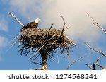 Bald Eagle On Nest Near Madison ...