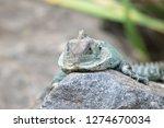 eastern water dragon sitting on ...   Shutterstock . vector #1274670034