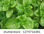 fresh green brazilian spinach... | Shutterstock . vector #1274716381