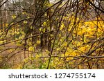 late fall blooming witch hazel...   Shutterstock . vector #1274755174