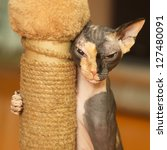 Stock photo sphynx playing with a scratching post 127480091