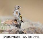 juvenile goldfinch the european ...   Shutterstock . vector #1274813941