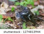 the common chaffinch  fringilla ...   Shutterstock . vector #1274813944