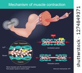 the muscle contraction as a... | Shutterstock .eps vector #1274849371