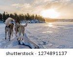 dogsledding in a winter... | Shutterstock . vector #1274891137
