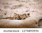 two lion cubs feeding  one... | Shutterstock . vector #1274893954