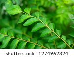 curry leaves tree plant close up | Shutterstock . vector #1274962324
