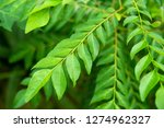 curry leaves tree plant close up | Shutterstock . vector #1274962327