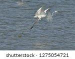 white heron taking off on the...   Shutterstock . vector #1275054721