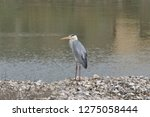 gray heron reflected on the...   Shutterstock . vector #1275058444