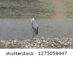 gray heron reflected on the...   Shutterstock . vector #1275058447