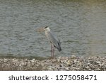 gray heron reflected on the...   Shutterstock . vector #1275058471
